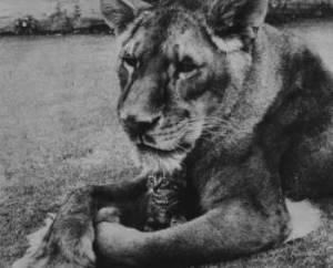 Little Tyke, lioness
